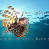 Lionfish : 1 gallery with 3 photos