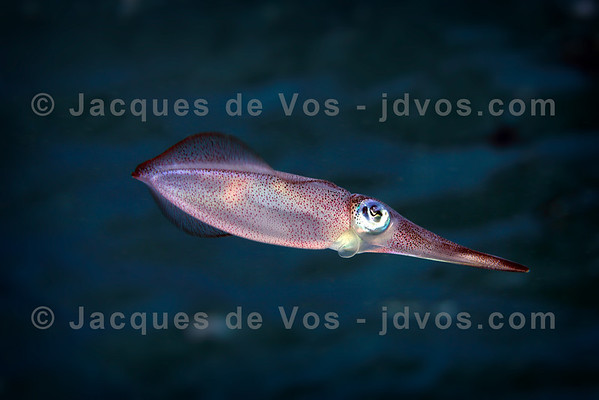 Common Reef Squid