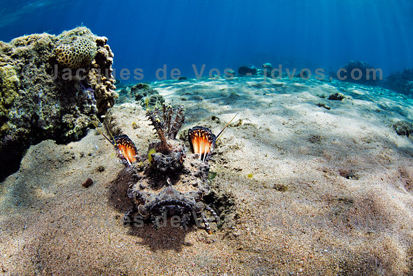 Filamented Devilfish - Red Sea