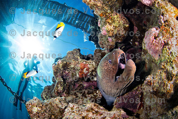 Giant Moray And Freediver