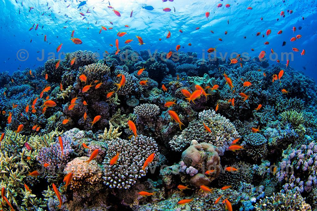 Red Sea Coral Seascape