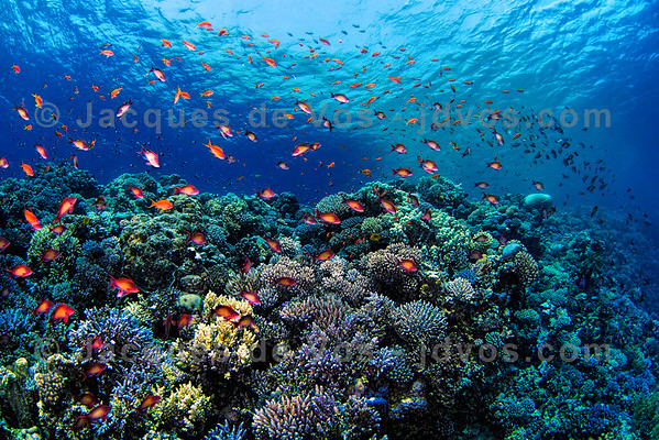 Anthiases On Red Sea Coral