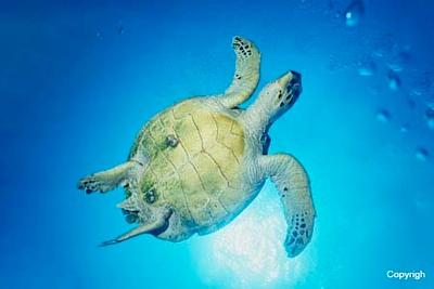 SharmElSheihk_Turtle_0126c