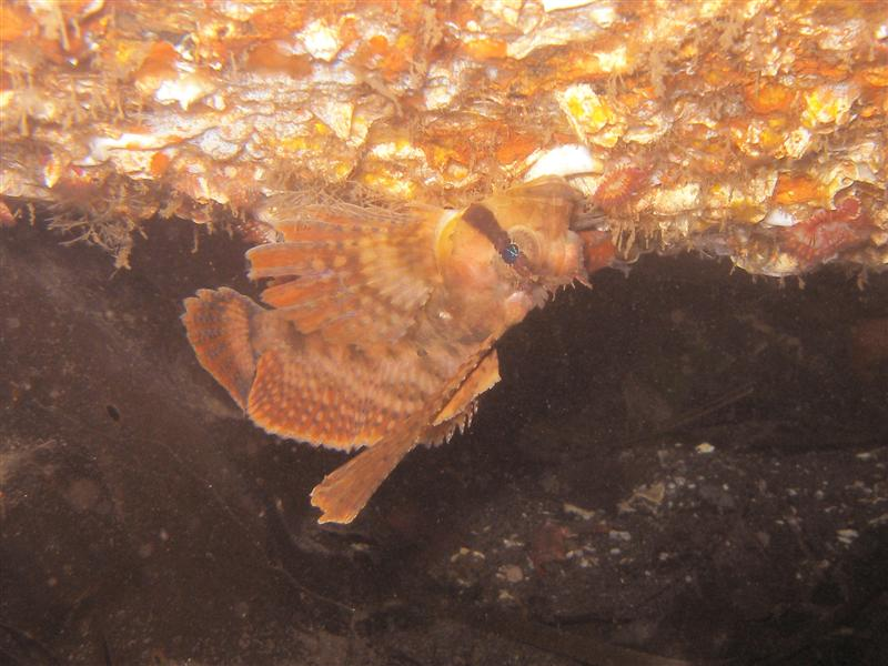 Sailfin Sculpin, upside down at the tube