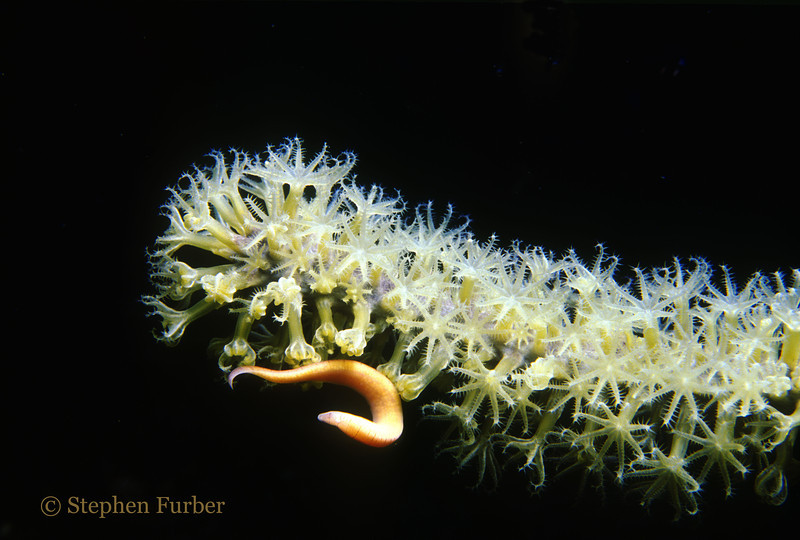 KNOBBY SEA RODS - Colonies; gorgonian with polyps extended (except in contact with sea worm)