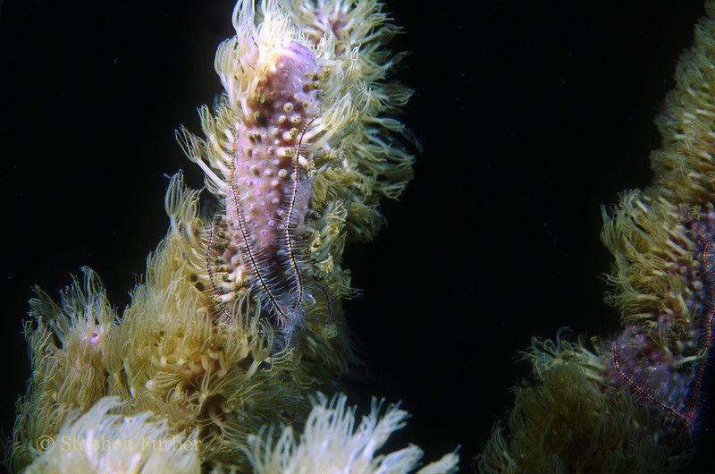 LONG CORAL POLYPS - It looks like they are being eaten by the brittle stars!