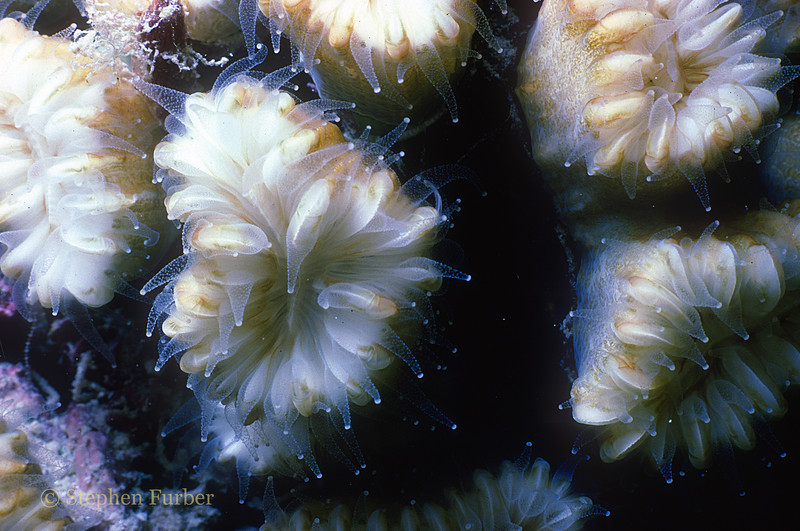 SMOOTH FLOWER CORAL - Polyps extended at night