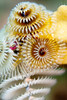 Christmas Tree Worm Colony