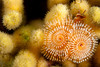 Christmas Tree Worm on Yellow Pencil Coral