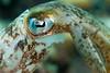 Posing Squid