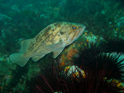 Adult Brown Rockfish taken at Forney's cove, Santa Cruz Island, CA