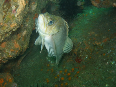 Kelp Rockfish 'heads up!""