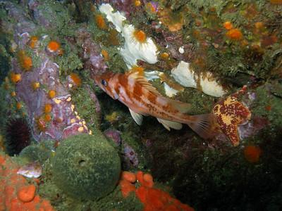 Bright Copper rockfish among the seastars and sponges of the reef, Santa Cruz Island, CA, 53ft,