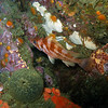 Bright Copper rockfish among the seastars and sponges of the reef, Santa Cruz Island, CA, 53ft,