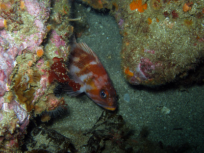 Copper Rockfish, Sneaking a peek, Santa Cruz island, CA,