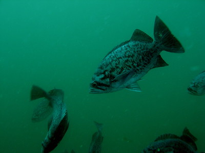 Blue rockfish schooling at 15ft below.