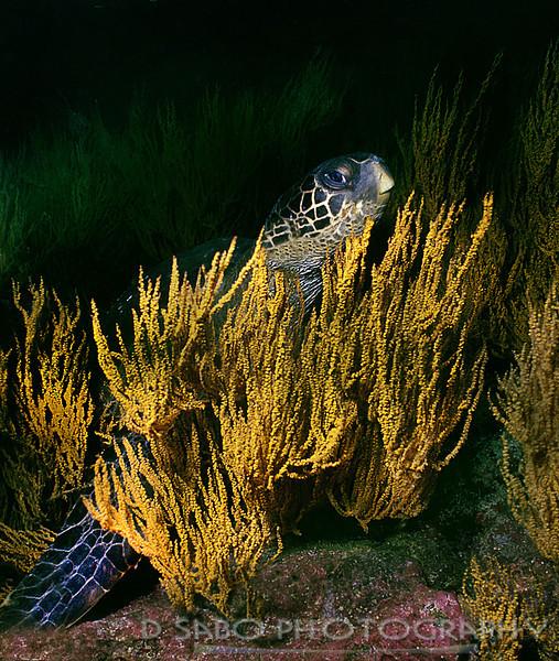 """""""Black Sea Turtle"""""""