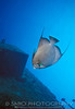 "A Grey Angelfish explores the shipwreck, ""The Prince Albert"" off of Coco View reef, Roatan, Bay Islands, Honduras"