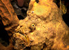 """""""Jobah""""   What the Longlure Frogfish,( Antennarius multiocellatus) lacks in mobility he (or she) makes up for with ingenuity.  A  frogfish swims poorly (more like a hop) so it plants itself in a sponge or on a rock and waits for his meal, dangling the long white lure to attract his next dinner. This frogfish was found in Dominica,Windward Isles on Castle Comfort reef."""