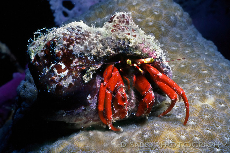 """Have House will Travel""  A red hermit crab spotted on a night dive off of Nevis, the sister island to St. Kitts.  Hermit crabs are unique in that they must find and use a shell from another creature. A hermit crab carries this ""borrowed"" shell around with them, and the shell protects their soft abdomen and holds and regulates moisture within the shell (important for the function of the gills for breathing). <br /> <br /> Some hermit crabs will change shells often while others like the Ecudorian hermit crab will stick with the same shell for many years."