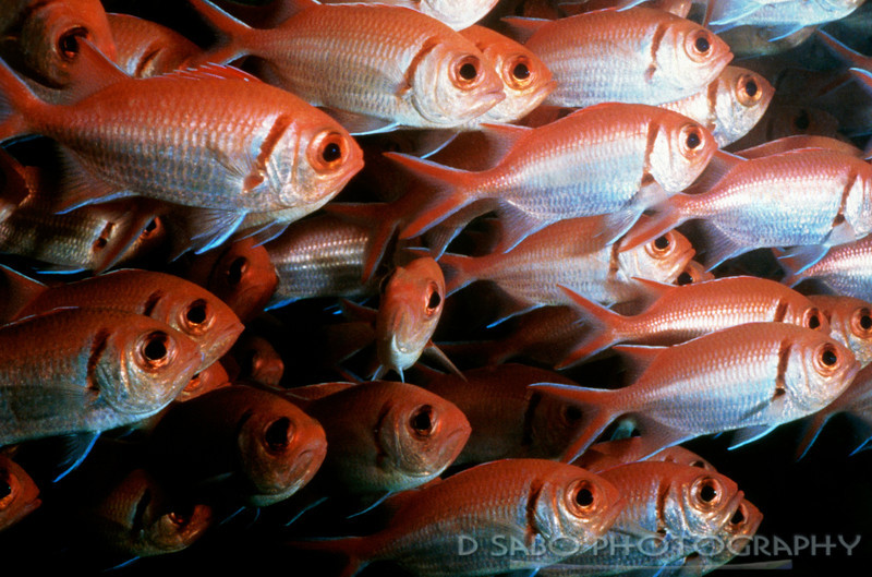 """School's In""  A CU of a school of Blackbar Soldierfish, Dominica, Windward Isles, Caribbean"