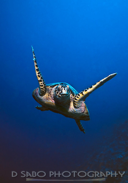 """Hawksbill Turtle""  I have a lot of turtle images but I am quite fond of this particular image since it is a head on shot, flappers in motion, taken from a diver's POV."