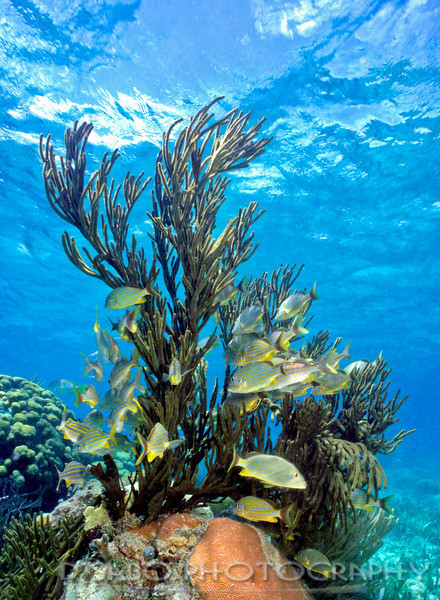 """""""Favorite Hangout""""  This St. Kitts shallow reef coral outcropping provides a temporary safe haven for this school of bluestriped grunts (Haemulon sciurus)"""