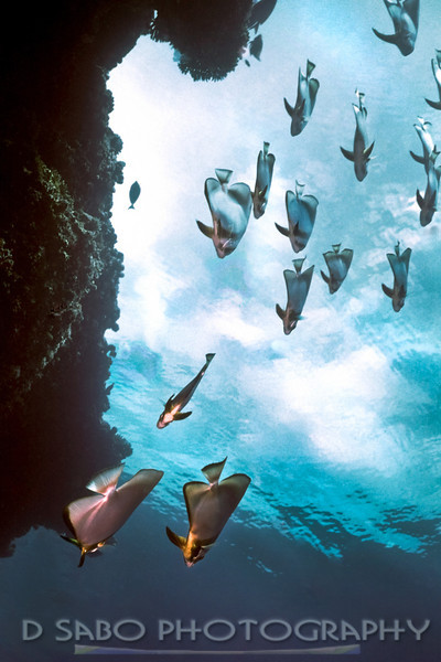 """Batfish from Heaven""   Batfish glide down the reef wall of a Maldivian dive site in crystal clear water where the clouds in the sky above can be seen."