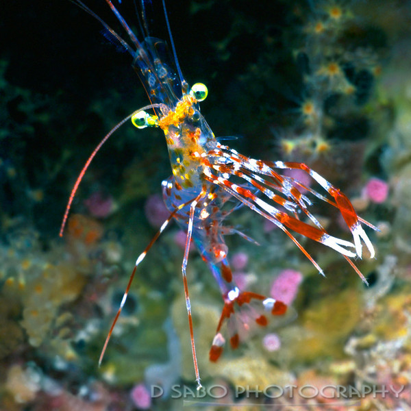 """Fijian Shrimp""""  Unidentified shrimp found in Fiji off the island of Kadavu.  This was not the easiest image to get, not because of the elusiveness of this tiny little guy but because my scuba tank was coming out of its harness and floating up towards the top of my head which probable would have made for another interesting shot."""