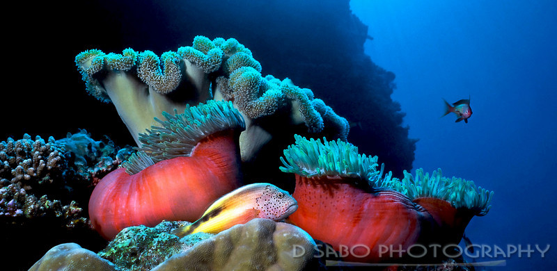 """Resting""  Blackside hawkfish (Paracirrhites forsteri) resting on some coral foreground while beautiful anemones and mushroom coral highlight the background of this Maldive dive site off of Felidu Atoll."