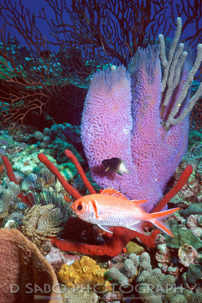"""St. Vincent Reef""   Red finger sponges, a feather duster, a black spiny sea urchin, damselfish, blackbar soldierfish, azure tube sponge, sea whip, encrusting sponge, vase sponge, and a red gorgonian can be found in this image."