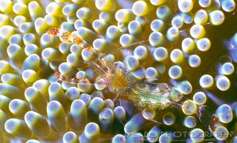 """""""Sun Anemone Shrimp"""" A diver needs a little luck and a good eye to spot this guy; an sun anemone shrimp about the size of a thumbnail and a translucent body, who makes its home inside a living anemone. Guanaja, Bay Islands, Honduras"""