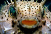 """""""Hal-Is that You?"""" Alien like close up of pufferfish off of a Roatan, Bay Island reef."""