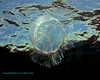 Moon Jelly near surface