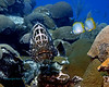 Black Grouper & Butterflyfish