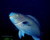 Blue Parrotfish 1