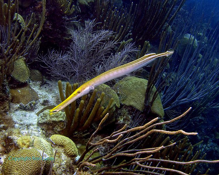 Trumpetfish Yellow Phase 2