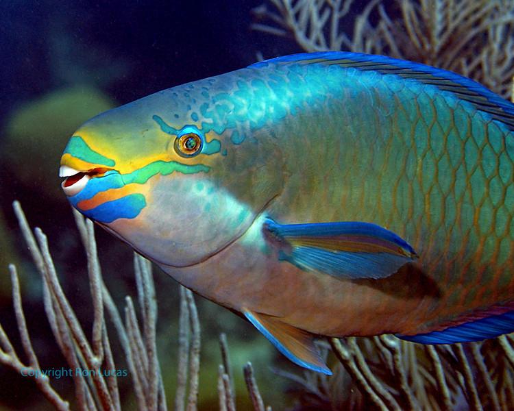 Queen Parrotfish Close up