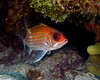 Squirrelfish