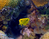 Threespot Damselfish Juv