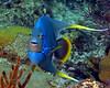 Blue (Bermuda) Angelfish 1