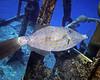 Scrawled Filefish on Hermes