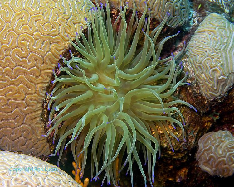 Sea Anemone & Brain Corals