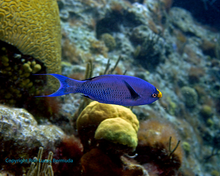 Creole Wrasse (Bermuda species male with yellow saddle)