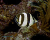 Banded Buttterflyfish