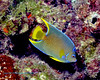 Townsend Angelfish Intermediate