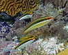Clown Wrasse