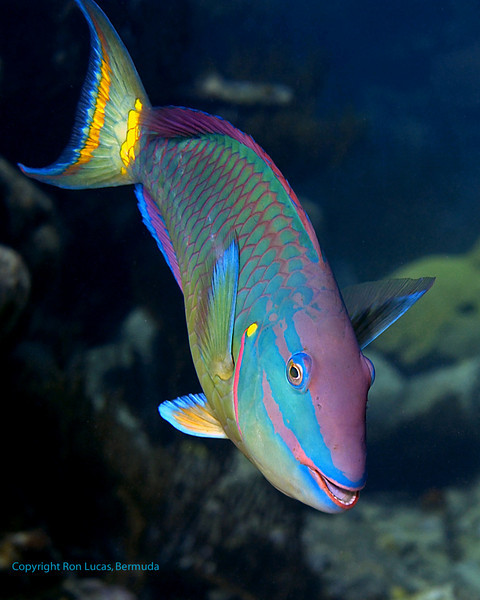 Stoplight Parrotfish 2