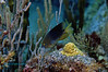 Threespot Damselfish on Algae Garden
