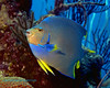 Blue Angelfish 2